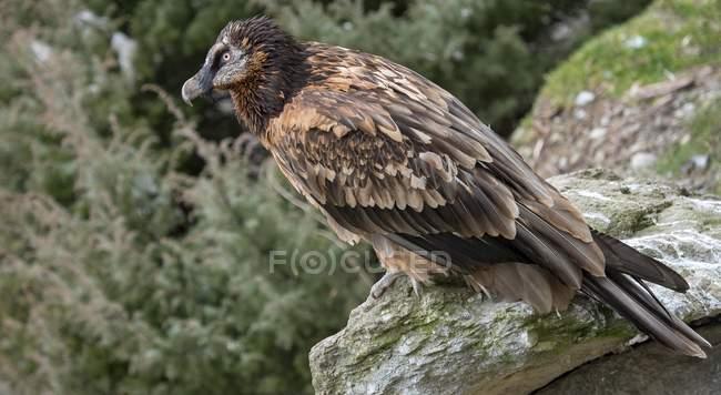 Bearded vulture perched on rocks in meadow - foto de stock