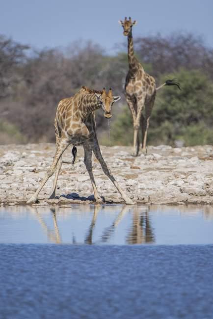 Due giraffe che beve al waterhole, Parco nazionale di Etosha, Namibia, Africa — Foto stock