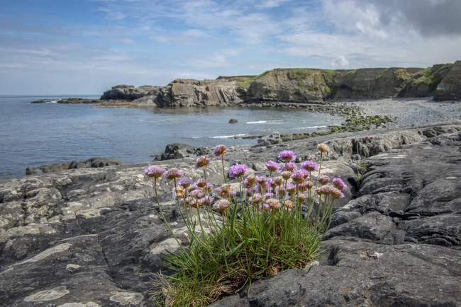 Rocky coast with pink sea thrifts at Kilkee, County Clare, Republic of Ireland — Stock Photo