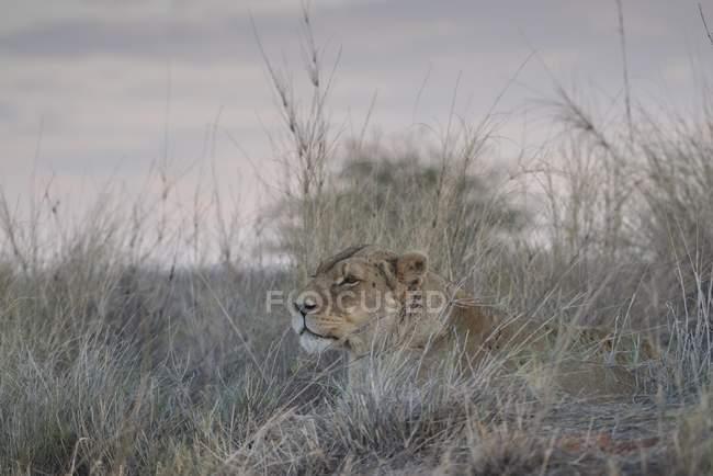 Leoa atentamente deitado na grama e olhando para fora, Hardap região, Namíbia, África — Fotografia de Stock