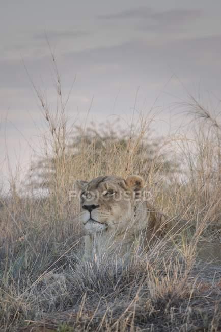 Львица, внимательно лежал в траве, Хардап регион, Намибии, Африка — стоковое фото
