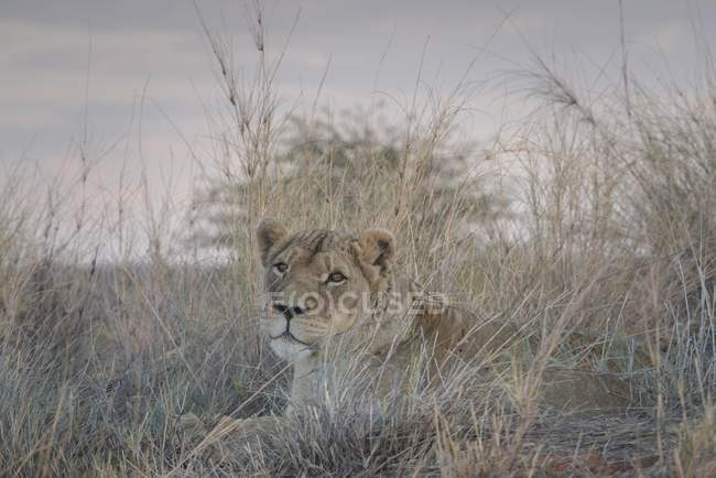 Львица внимательно лежал в траве и глядя, Хардап регион, Намибии, Африка — стоковое фото