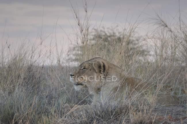 Львица, лежащий в траве Хардап регион, Намибии, Африка — стоковое фото