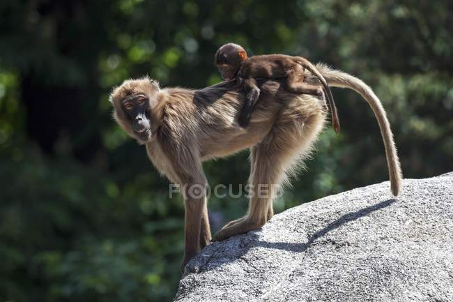 Ethiopian Gelada baboon with baby animal captive on rocks in zoo outdoors — Fotografia de Stock