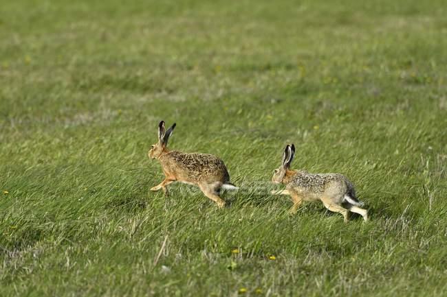Due lepri europee in esecuzione su erba di prato — Foto stock