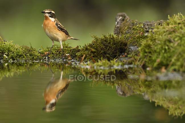 Uccello maschio Stiaccino sul puntello muscosa dello stagno nel parco — Foto stock