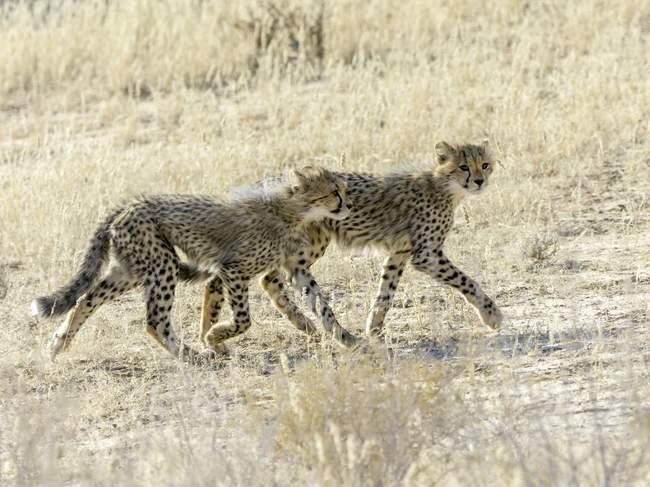 Zwei jungen Geparden in Kgalagadi Transfrontier National Park, Nordkap, Südafrika, Afrika — Stockfoto