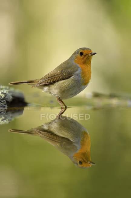 Uccello del pettirosso europeo che riflette in acqua dello stagno, close-up — Foto stock