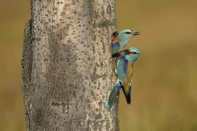 Breeding pair of rollers meet at nesting hole, close-up — Stock Photo