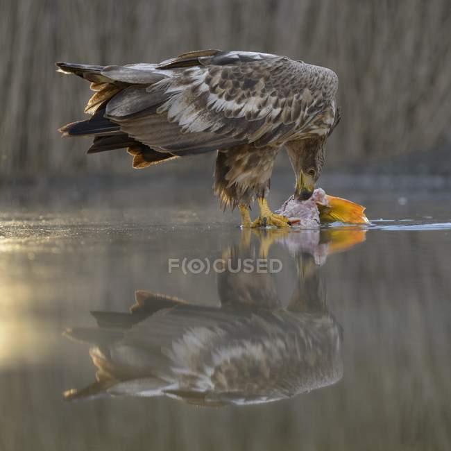 Águila de cola blanca comiendo pescado capturado en aguas poco profundas - foto de stock