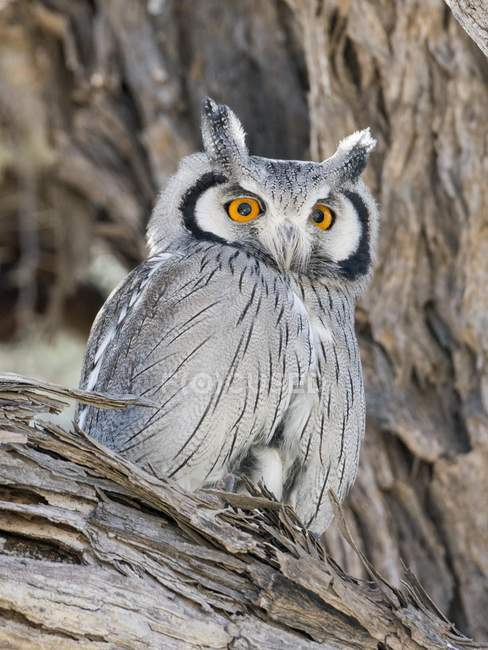 Southern white-faced owl in Kgalagadi Transfrontier National Park, North Cape, South Africa, Africa — Foto stock