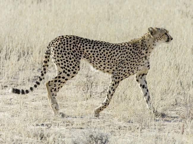 Female cheetah in Kgalagadi Transfrontier National Park, North Cape, South Africa, Africa — Stock Photo