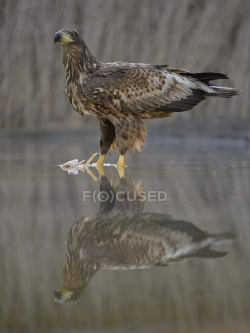Águila de cola blanca con los pescados capturados en aguas poco profundas del lago - foto de stock