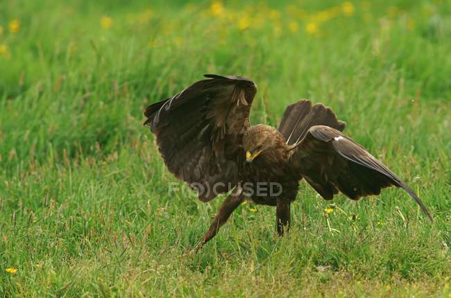 Águila pomerana con extensión alas de caza en Prado - foto de stock