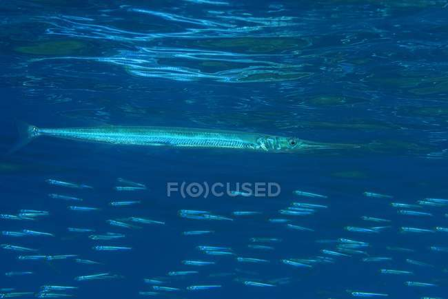 Needlefish hunting small fishes under surface of water, Red Sea, Dahab, Egypt, Africa — Stock Photo