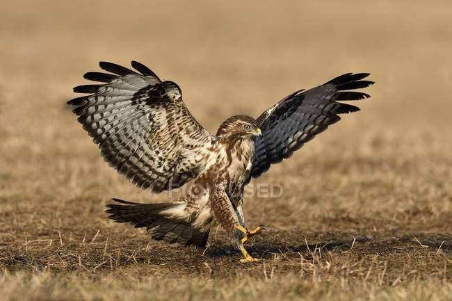 Enfoque de ratonero con despegar las alas al aire libre - foto de stock