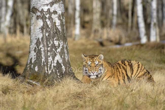 Siberian tiger dormant in birch trees in woodland — Stock Photo