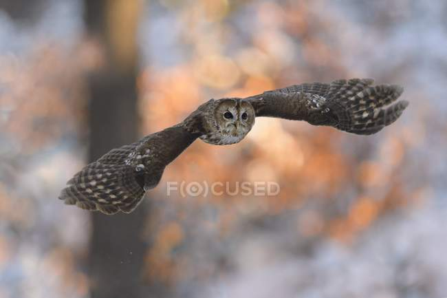 Tawny owl flying in winter at sunset in woodland — Stock Photo