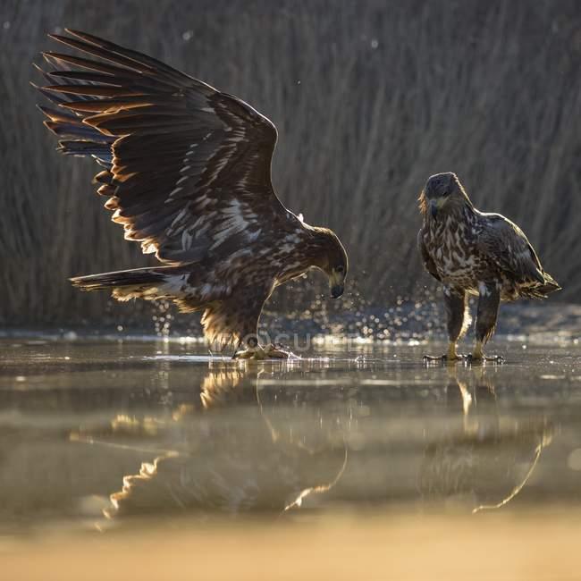 Las águilas jóvenes luchando por los peces en aguas poco profundas de la laguna de pescado, Parque Nacional de Kiskunsag, Hungría, Europa - foto de stock