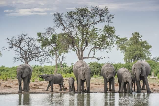 Manada de elefantes africanos com os filhotes bebendo no poço, Savuti, Chobe National Park, distrito de Chobe, Botswana, África — Fotografia de Stock