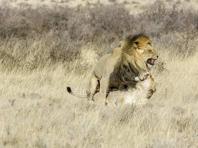 Львы пара спаривания в траве, Кгалагади трансграничном Национальный парк, Северный Кейп, Южная Африка, Африка — стоковое фото