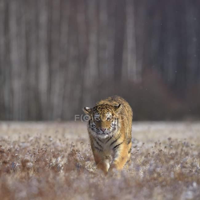 Camminare nel prato stagionale della tigre siberiana — Foto stock