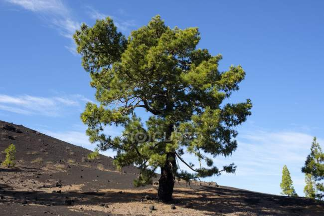 Canary Island pine growing in lava landscape of Montana Negra in El Tanque, Tenerife, Canary Islands, Spain, Europe — Stock Photo