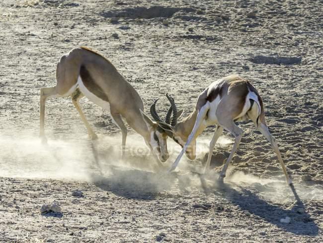 Spielerischen Kampf zwischen junge Impalas, Kgalagadi Transfrontier National Park, Nordkap, Südafrika, Afrika — Stockfoto