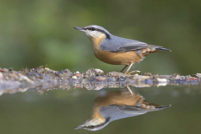 Sitta euroasiatica di in acqua al woodland, close-up — Foto stock