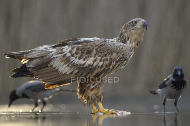 Pie de águila de cola blanca en aguas poco profundas con cuervos - foto de stock