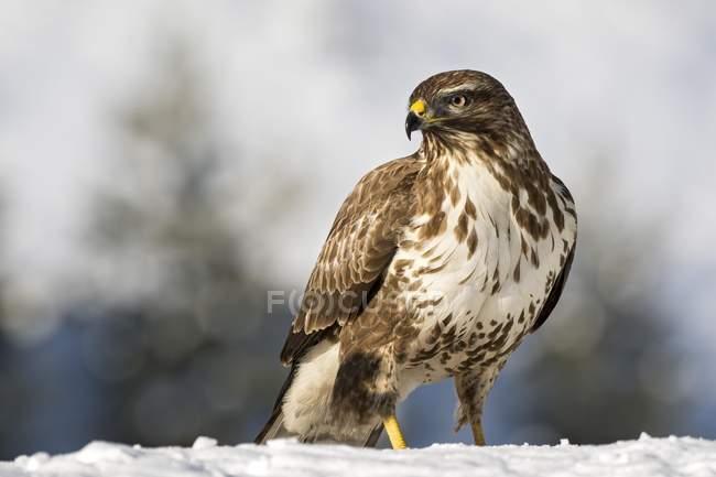 Pie de pájaro zopilote en la nieve al aire libre - foto de stock