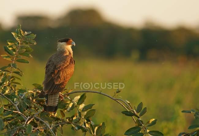 Carancho crestado en rama, Pantanal, Mato Grosso, Brasil, Sudamérica - foto de stock