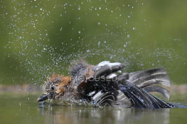 Eurasian jay bird bathing in shallow water in park — Stock Photo