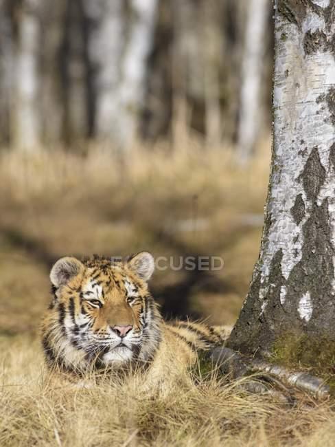 Tigre siberiana dormiente in alberi di betulla nel bosco — Foto stock