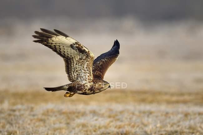 Pájaro zopilote volando sobre el exterior del Prado - foto de stock
