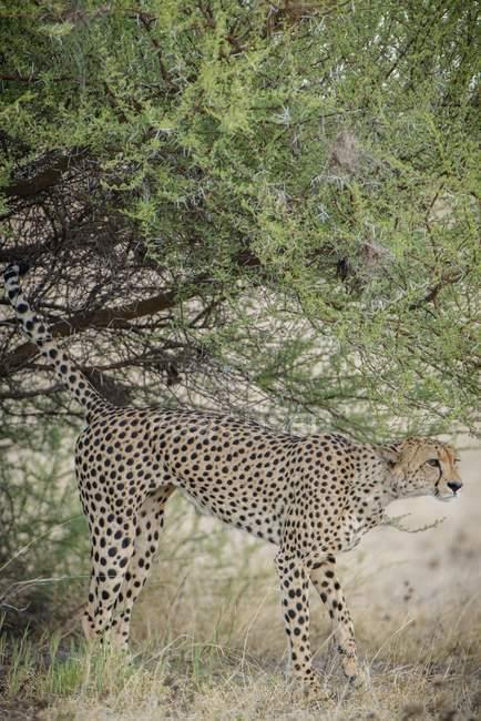 Cespuglio di marcatura di ghepardo nel Parco nazionale di Nxai Pan, distretto di Ngamiland, Botswana, Africa — Foto stock