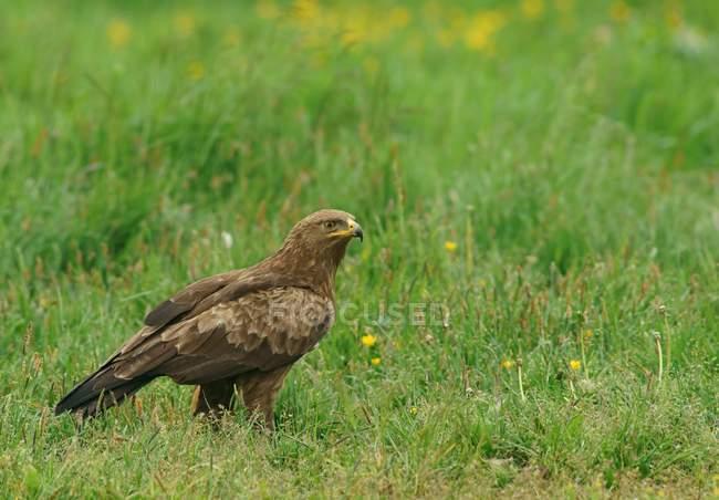 Pie de águila moteada menor en prado verde - foto de stock