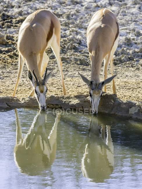 Impalas trinken am Wasserloch, Kgalagadi Transfrontier National Park, Nordkap, Südafrika, Afrika — Stockfoto