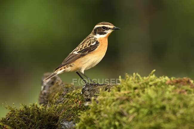 Uccello maschio Stiaccino su terreno muscoso nel parco — Foto stock