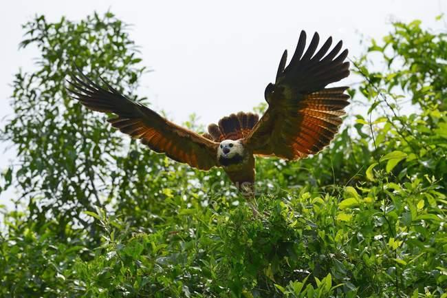 Vuelo de tomar Black-collared hawk, Mato Grosso do Sul, Brasil, Sudamérica - foto de stock