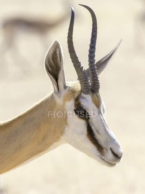 Porträt von Impala in Kgalagadi Transfrontier National Park, Nordkap, Südafrika, Afrika — Stockfoto