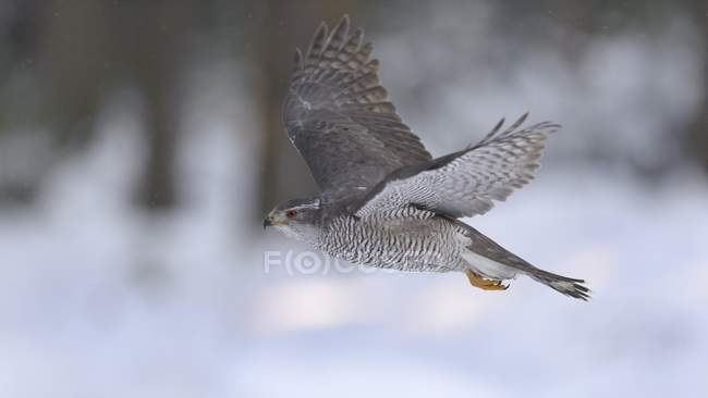 Northern goshawk flying in forest in winter, Bohemian Forest, Czech Republic, Europe - foto de stock