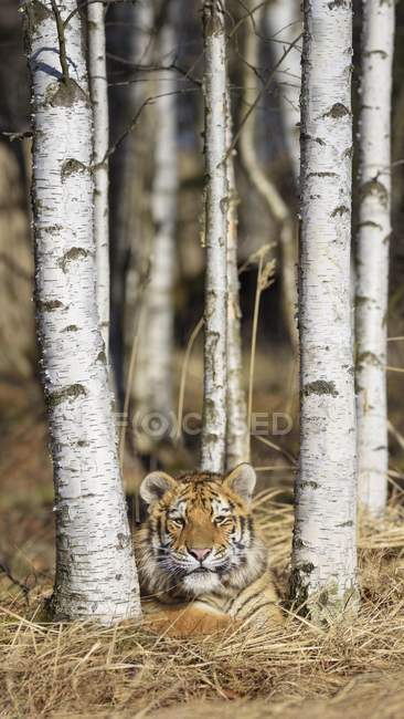 Siberian tiger dormant between birch trees in woodland — Stock Photo