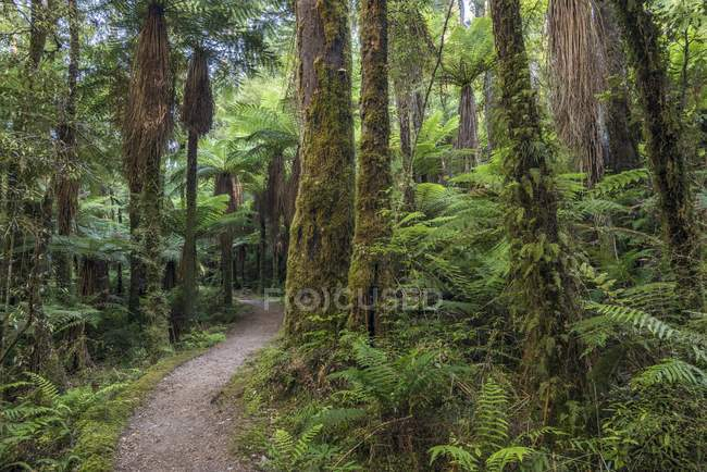 Hiking trail and various ferns in rainforest, Whirinaki Forest, North Island, New Zealand, Oceania — Stock Photo