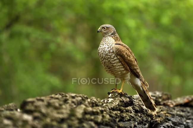 Female Eurasian sparrowhawk sitting on branch - foto de stock