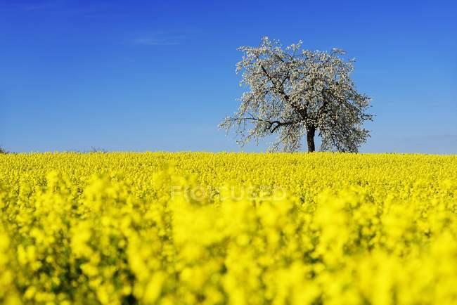 Campo di colza e gli alberi di ciliegio in fiore vicino Stucht, Heiligenstadt, Giura Francone, Alta Franconia, Baviera, Germania, Europa — Foto stock
