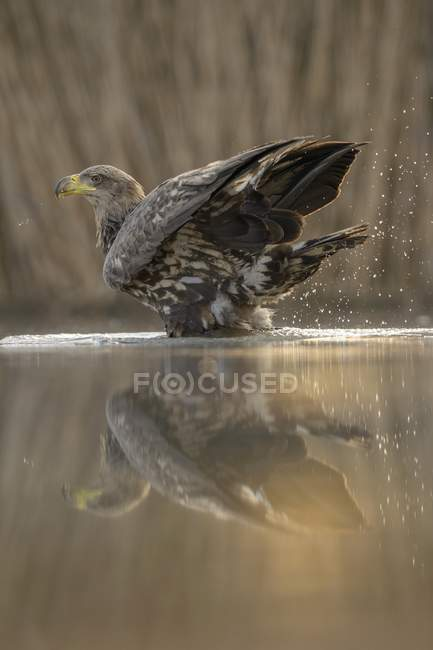 White-tailed eagle bathing in morning light with reflection in lake water — Stock Photo