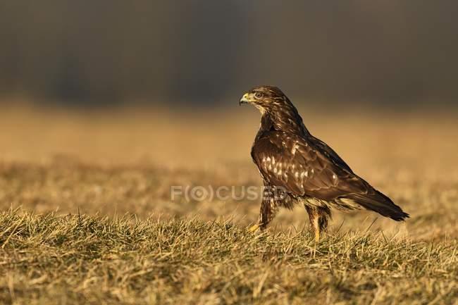 Pájaro zopilote caminando en la hierba del Prado - foto de stock