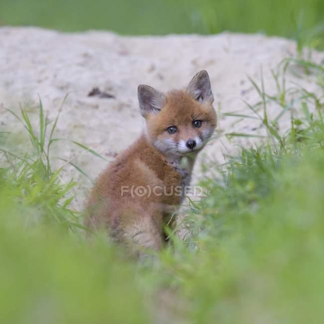 Детеныш Красного Фокс перед нору, в траве — стоковое фото