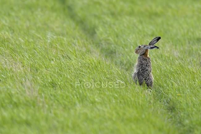 Lepre europea seduto in erba di prato verde — Foto stock